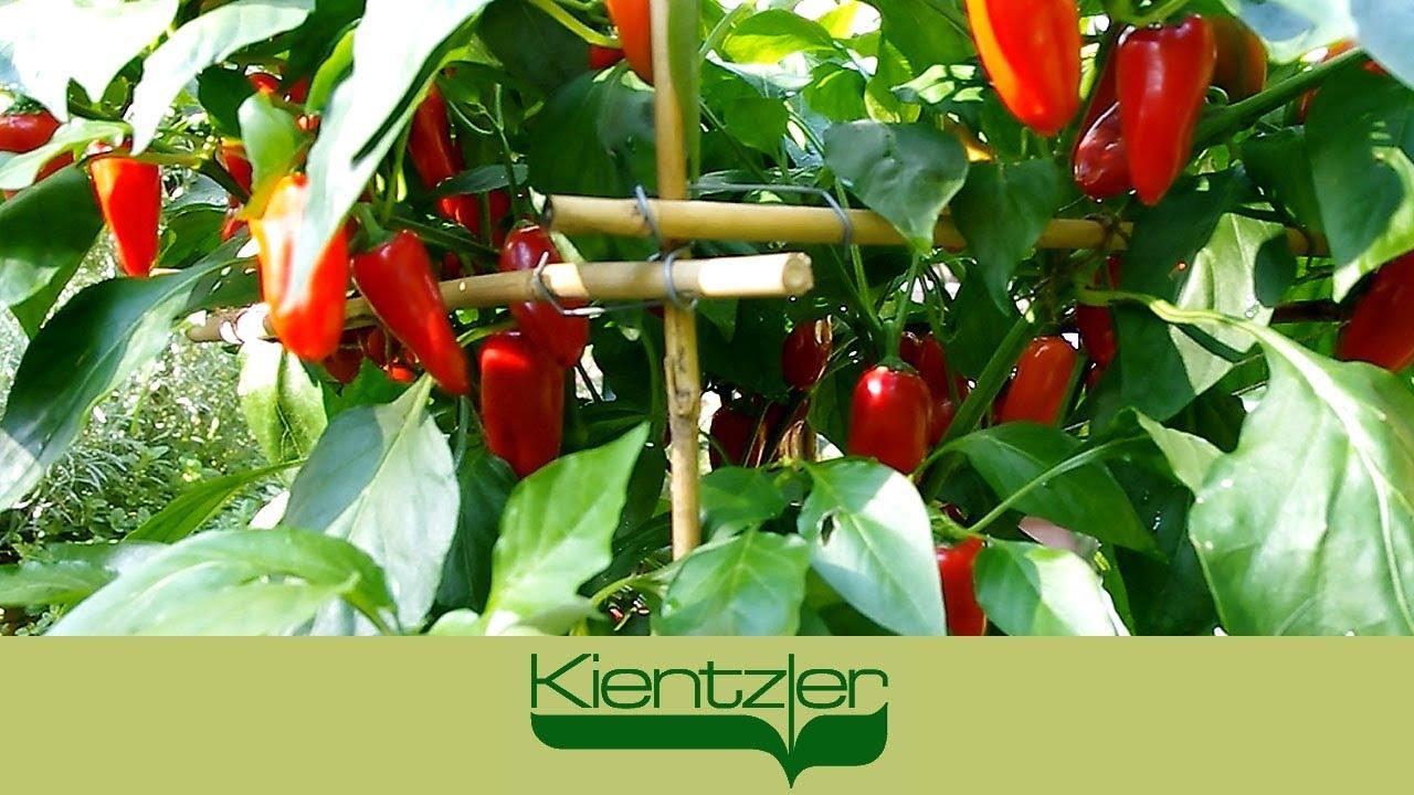 Etwas Neues genug Paprika anbauen auf Balkon, Terrasse und im Garten-Gewächshaus &BL_36