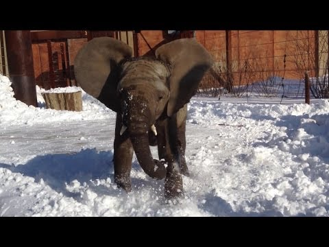 Lucas the elephant calf plays in snow