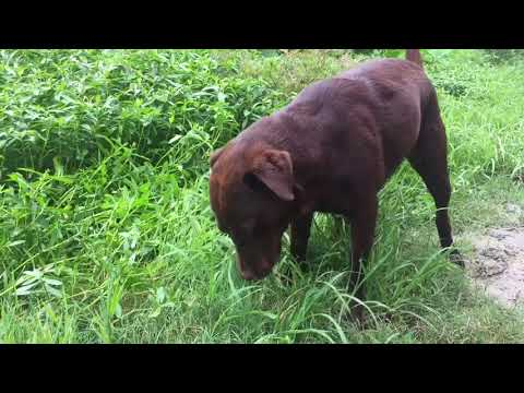 Chocolate Labrador Vs Japanese Spitz