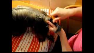 Как подстричь Силки терьера. Часть 2