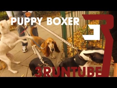 Puppy Boxer swings a Punch