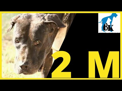 King Malanga Indian Mastiff, Owner Interview  Bully Kutta....Indian Bully Dog Indian Bully Dog