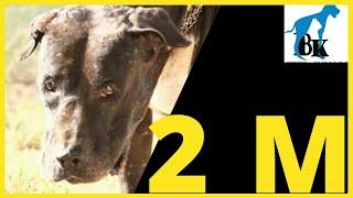 King Malanga Indian Mastiff, Owner Interview  Bully Kutta....Indian Bully Dog Indian Bully Dog