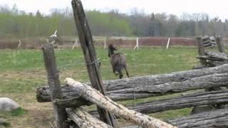 Sorraia Stallion Chasing Birds