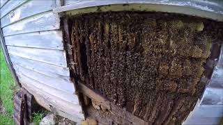Huge honey bee removal from old house