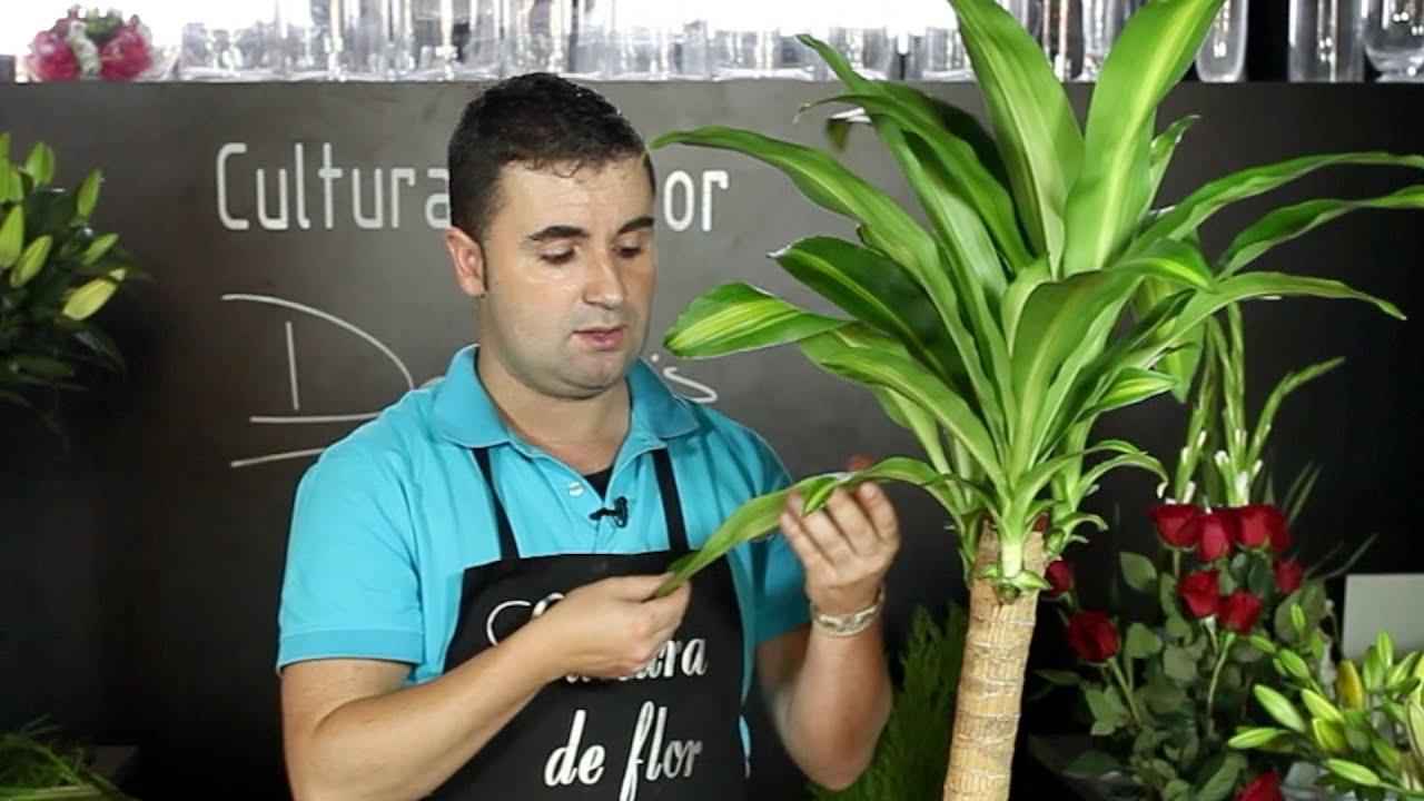 Cuidados de la dr cena cultura de flor sapeando youtube - Como cuidar una hortensia de exterior ...