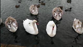 В мире животных. Лебеди и утки на пруду в городе Старая Русса. Новгородская область.
