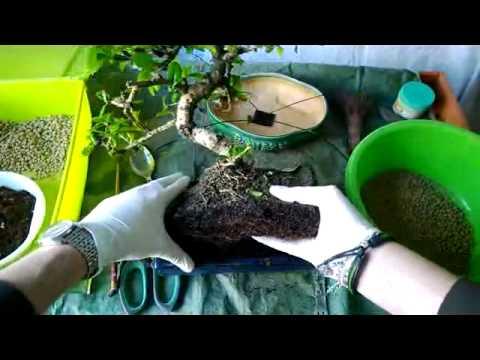 come curare un bonsai carmona