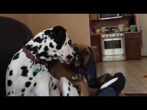Boxer dog punches Dalmatian