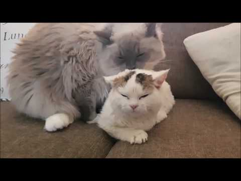 Best Friends Forever (The second week) | Bowie The Ragdoll Cat and Bella the Lambkin kitten