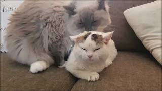 How a Lambkin kitten becomes friends with a Huge Ragdoll cat (The second week)