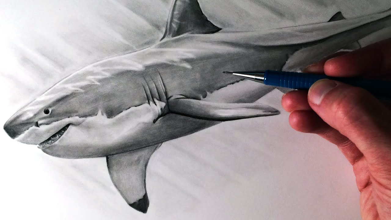 how to draw a great white shark youtube