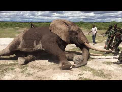 Amboseli Bull Vet Treatment