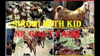 sirohi BAKRI with kid for sale NR Goat Farm new Lott|Animals Vlog Kolkata