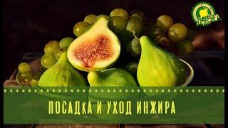 Инжир: секреты плодовитого урожая