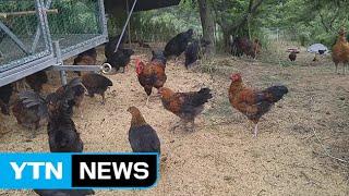 밤나무 숲에 닭 키우면?...1석 2조 순환농법 / YTN