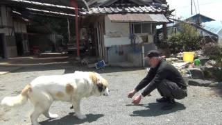 餌をもらい続け、松村と仲良くなった大きな犬(セントバーナード)の映...