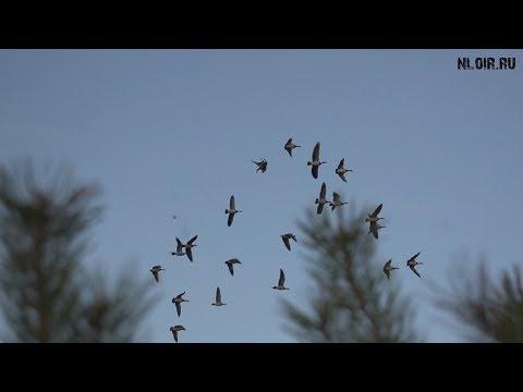 Охота на гуся осень 2016