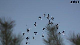 Охота на гуся осень.Охота на Севере.