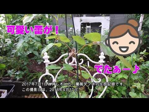 薔薇バラダフネ挿し木成長記録12018年4月17日