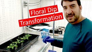 Transforming Arabidopsis by Agrobacterium floral dip