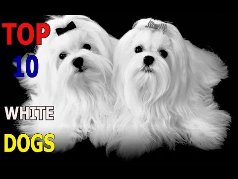 Top 10 White dog breeds | Top 10 animals