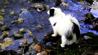 "Papillon Puppy Romping In ""unicorn Glen"" Set To ""halting March"""
