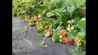 Личный опыт выращивания земляники садовой (клубники). Правильный полив.