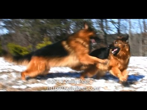 Red and Black Long Haired (Long Coat) German Shepherds Dancing on a Heavenly Mountain.