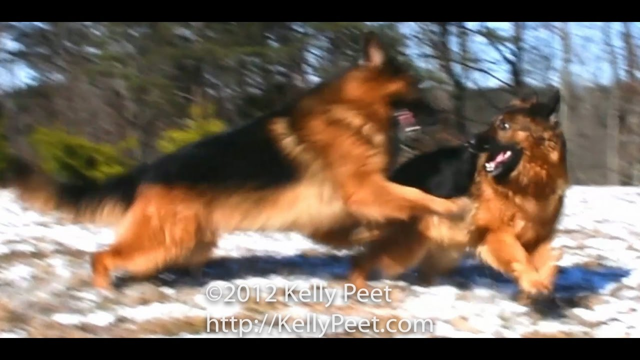 Red And Black Long Haired Long Coat German Shepherds Dancing On A