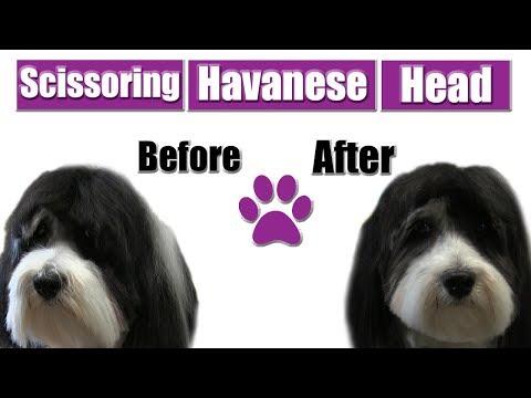 How To Scissor Havanese Head