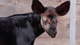Raw: Baby Okapi Born at Houston Zoo