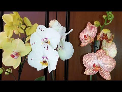 Три Новые Орхидеи | Сходила за хлебушком | Ph. Lisboa | Ph. Califo | Ph. Ravello
