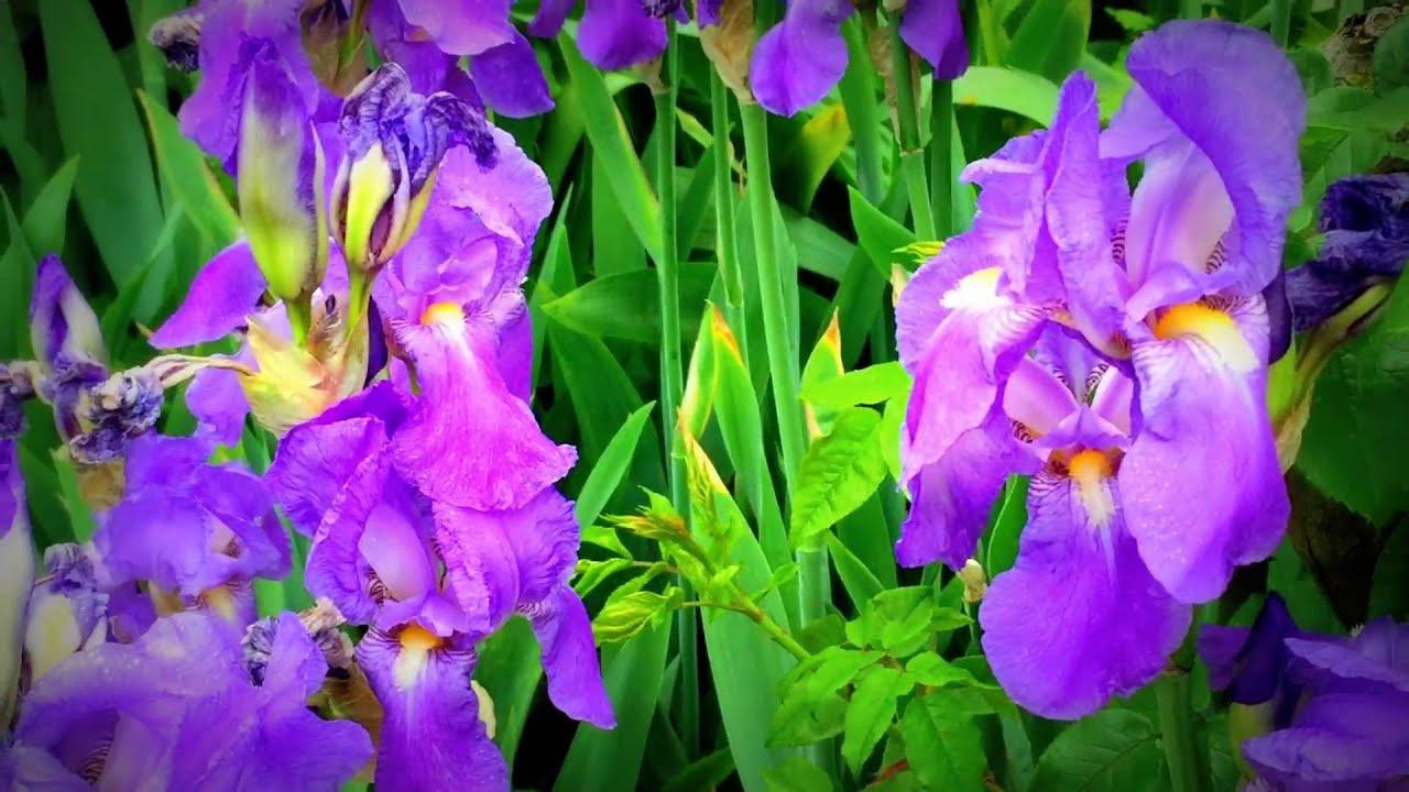 British spring blossoms blue iris flowers blooming in garden british spring blossoms blue iris flowers blooming in garden iris gardening spring flowers dhlflorist Choice Image