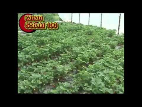 видео: Тонна клубники с 1 сотки 2013 ( июнь )