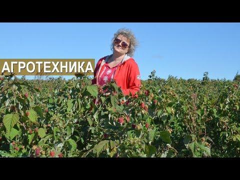 АГРОТЕХНИКА ВЫРАЩИВАНИЯ МАЛИНЫ И ЕЖЕВИКИ. Тульская ягодная компания