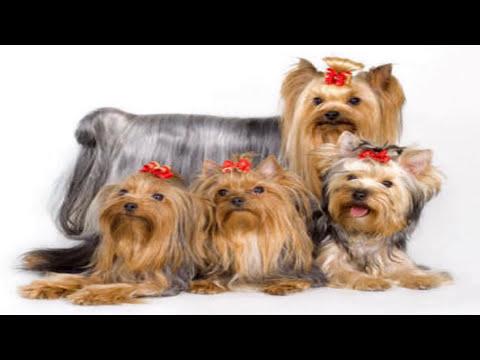P de perros Yorkshire terrier Mascota o no
