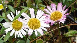 Video Mexican fleabane - Erigeron karvinskianus - Wildflowers - Hellukobbi - Sumarblóm download MP3, 3GP, MP4, WEBM, AVI, FLV Agustus 2018
