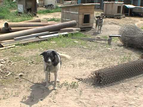 В Тутаеве на 12-летнего мальчика набросилась разъяренная собака