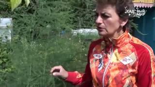 видео Спаржа - выращивание из семян и уход за культурой