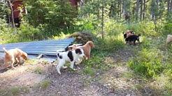 Reippaat sekarotuiset koiranpennut #1