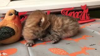 Британсие золотые котята от пары Регина и Крош