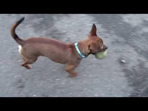 Choroba Legg Calve Perthesa u psa: jak ją rozpoznać i leczyć?
