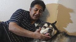 Sheru Got Hurt - Day 1 | Alaskan Malamute | Car Accident