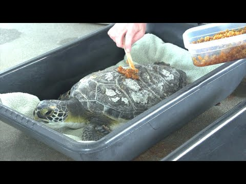 Rescued Turtles Get Sweet Healing Treatment From Honey Bees