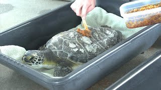 Rescued Turtles Get Sweet Healing Treatment From Honey Bees thumbnail