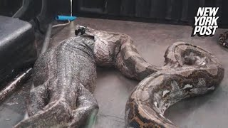 Giant Snake Vomits Up Impossibly Large Lizard New York Post