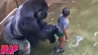 Gorilla Shot And Killed After Boy Jumps Into His Enclosure