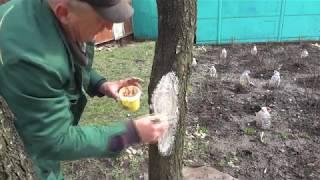 Как залечить раны на плодовых деревьях