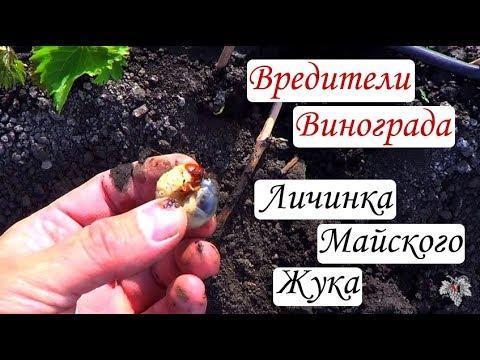Вредители винограда. Личинка майского жука в действии (Хрущ)